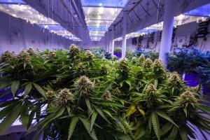detroit-metro-times-cannabis.jpg