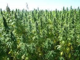 hemp field 2_5