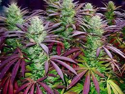 purple-buds